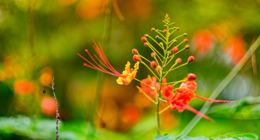 flower in barbados garden