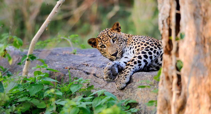 sri lankan leopard lying down