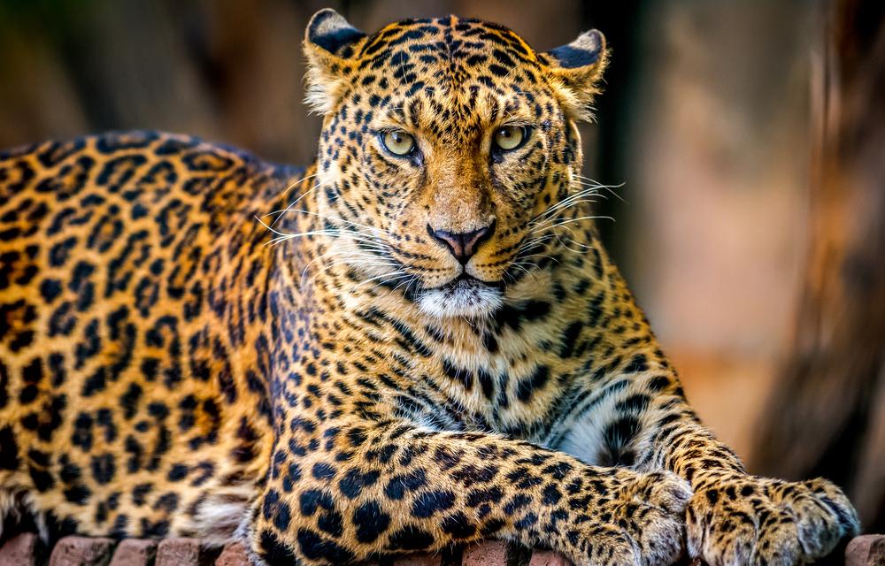 wild leopard in sri lanka