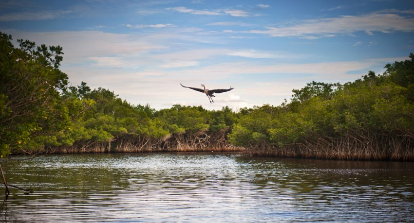 blue heron taking flight in the everglades