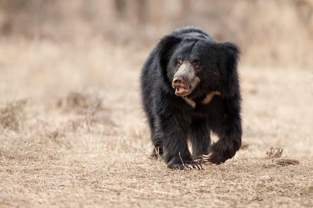 Sloth Bear in sri lanka