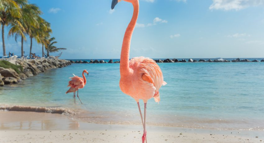 flamingos on caribbean beach