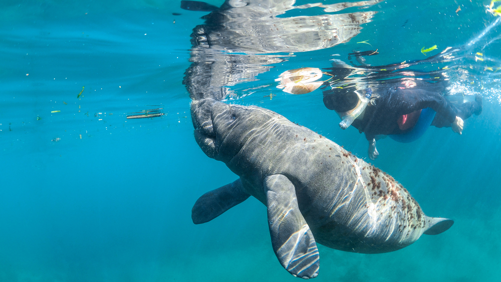 Snorkel with Manatees in florida